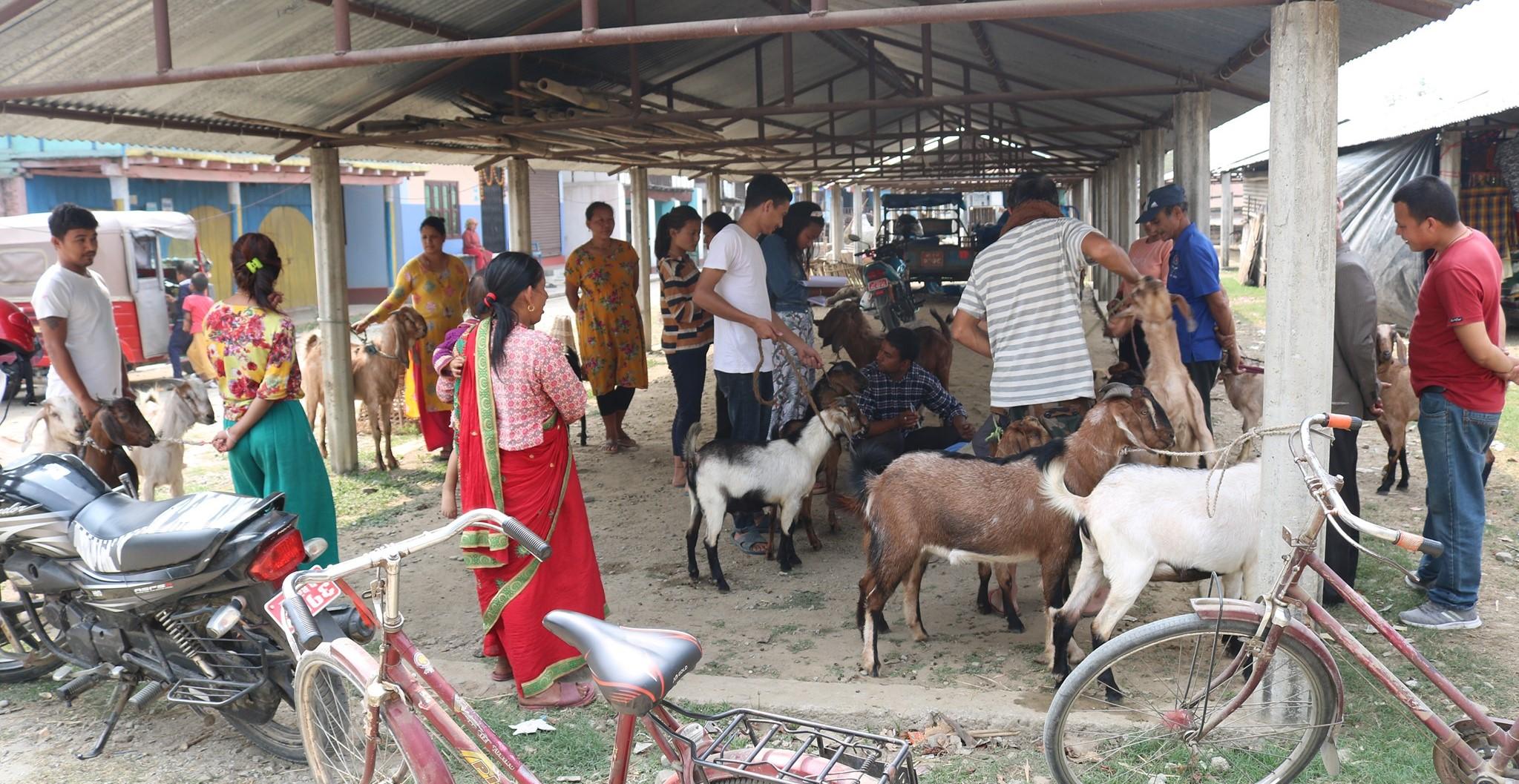 नगरमा १५ हजार बाख्रालाई पीपीआर खोप